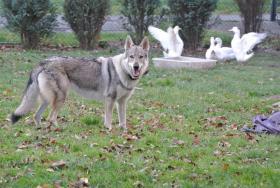 Foto 4 Tschechoslowakischer Wolfhund Welpen