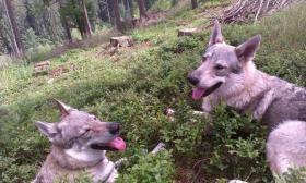 Foto 5 Tschechoslowakischer Wolfhund Welpen