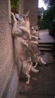 Foto 6 Tschechoslowakischer Wolfhund Welpen