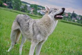 Foto 7 Tschechoslowakischer Wolfhund Welpen
