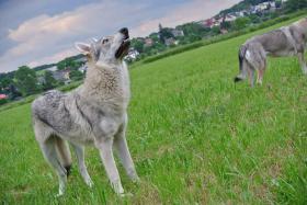 Foto 8 Tschechoslowakischer Wolfhund Welpen