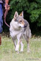 Foto 2 Tschechoslowakischer Wolfhund - Welpe mit Papiere