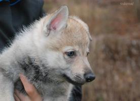Foto 4 Tschechoslowakischer Wolfshund