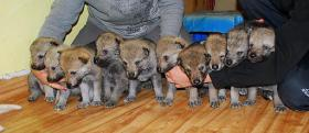 Foto 5 Tschechoslowakischer Wolfshund