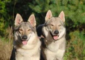 Foto 7 Tschechoslowakischer Wolfshund
