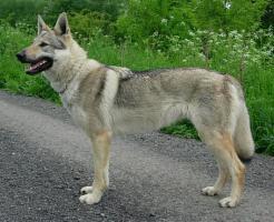 Foto 2 Tschechoslowakischer Wolfshund