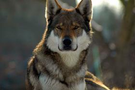 Tschechoslowakischer Wolfshund mit Papiere