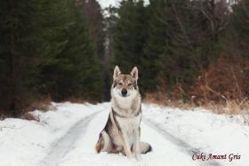 Foto 2 Tschechoslowakischer Wolfshund Welpen FCI