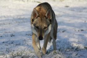 Foto 4 Tschechoslowakischer Wolfshund Welpen mit FCI Papiere