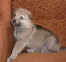 Foto 2 Tschechoslowakischer Wolfshund welpen