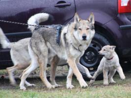 Foto 5 Tschechoslowakischer Wolfshund - Abnahme sofort
