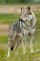 Foto 2 Tschechoslowakischer Wolfshunde