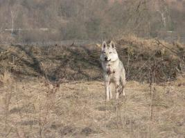 Foto 3 Tschechoslowakischer Wolfshunde