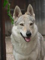 Foto 4 Tschechoslowakischer Wolfshunde