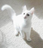 Türkisch Angora Jungkatzen