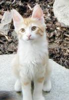 Foto 3 Türkisch Angora Jungkatzen
