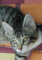Foto 4 Türkisch Angora Jungkatzen