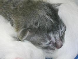 Foto 3 Türkisch Angora Kitten