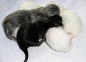 Foto 4 Türkisch Angora Kitten