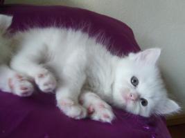 Foto 4 Türkische Angora Babys