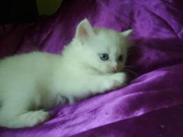 Foto 5 Türkische Angora Babys