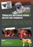 Türkischer Hirtenhund Kangal - Welpen zum Verkaufen