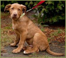Twix, männlich , ca. 4 Monate, 37 cm, Labrador-Mix , gechipt