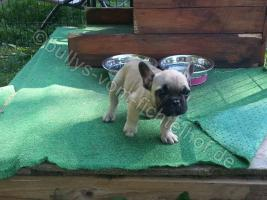 Type Full Bully puppies for sale with pedigree