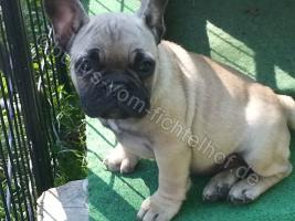 Foto 5 Type Full Bully puppies for sale with pedigree