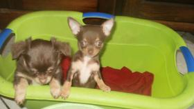 Foto 2 Typovolle Chihuahua Hündinnen
