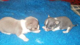 Foto 3 Typovolle Chihuahua Hündinnen