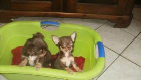 Foto 4 Typovolle Chihuahua Hündinnen