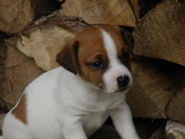 Foto 2 Typvolle Jack Russell Terrier Welpen