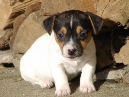 Foto 3 Typvolle Jack Russell Terrier Welpen