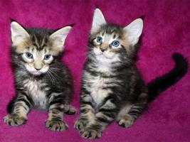 *** Typvolle Kitten mit Papiere aus Championlinien ***