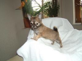 Foto 2 Typvolle LH Chihuahuawelpen m. Papieren