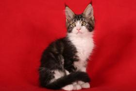 Typvolle Maine Coon Kitten mit tollen Luchspinseln