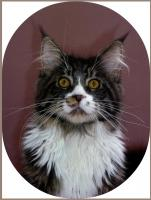 Typvolle X X X L Maine Coon Joungsters mit mega Pinseln!!!