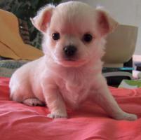 Foto 2 Typvolle langhaar Chihuahua Welpen