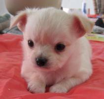 Foto 3 Typvolle langhaar Chihuahua Welpen
