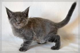 Typvoller und kräftiger Maine Coon Kitten von Niedersachsen.