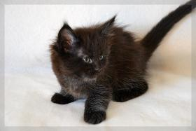 Foto 2 Typvoller und kräftiger Maine Coon Kitten von Niedersachsen.