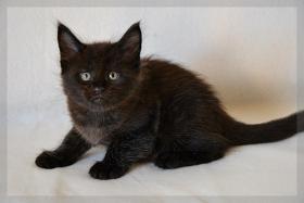 Foto 3 Typvoller und kräftiger Maine Coon Kitten von Niedersachsen.