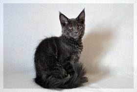 Foto 2 Typvoller und kräftiger Maine Coon Kitten von Niedersachsen mit nehmen.