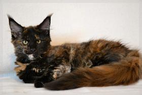 Foto 3 Typvoller und kräftiger Maine Coon Kitten von Niedersachsen mit nehmen.