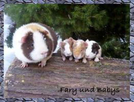 Foto 2 US Teddy Meerschweinchen
