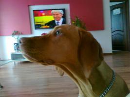 Foto 2 Ungarischer Vorstehhund [ Vizsla]