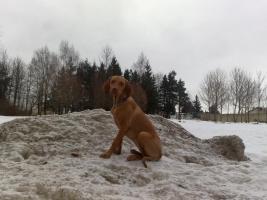 Foto 4 Ungarischer Vorstehhund [ Vizsla]