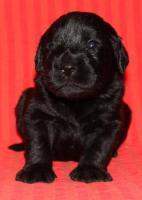 Foto 3 Unglaublich süße schwarze Labradoodle-Welpen!