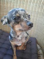 Unser Rocky ist jetzt bereit liebe Chihuahua Damen zu decken